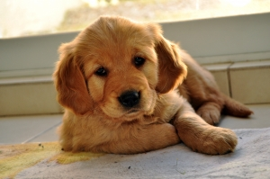 1335123_golden_retreiver_puppy_3